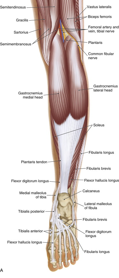 Posterior superficial view of the posterior leg/foot. Permission: Joseph E. Muscolino. The Muscle and Bone Palpation Manual, 2ed (2016), Elsevier.