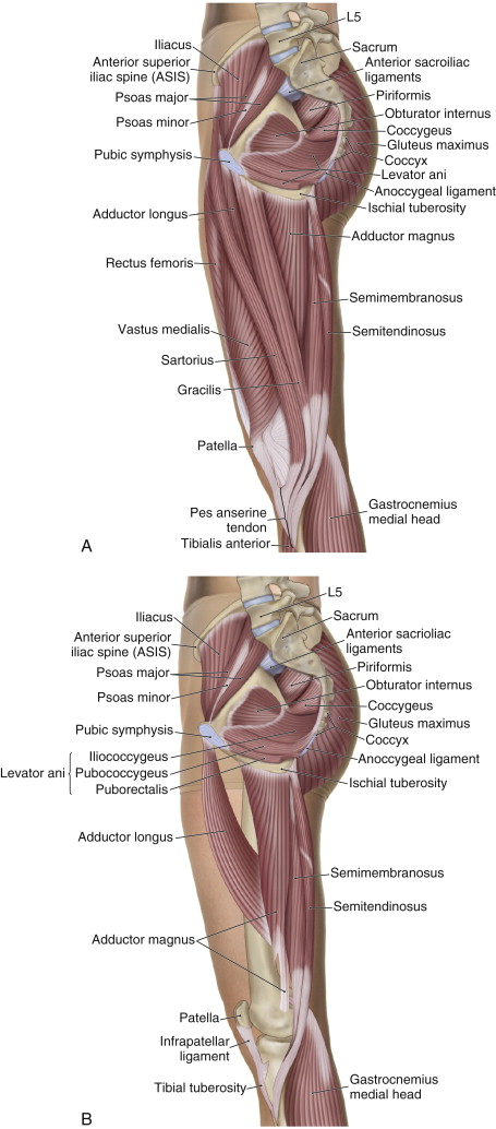 Medial views of the adductor group. Permission: Joseph E. Muscolino. The Muscle and Bone Palpation Manual, 2ed (2016), Elsevier.