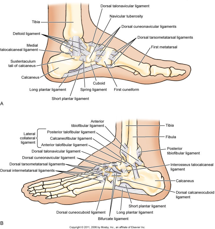 Medial and lateral views of the ligaments of the ankle joint. Permission: Joseph E. Muscolino. Kinesiology: The Skeletal System and Muscle Function (Elsevier), 2017.
