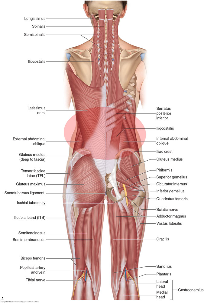 Posterior view of the muscles of the low back. Permission: Joseph E. Muscolino. Manual Therapy for the Low Back and Pelvis (2015).