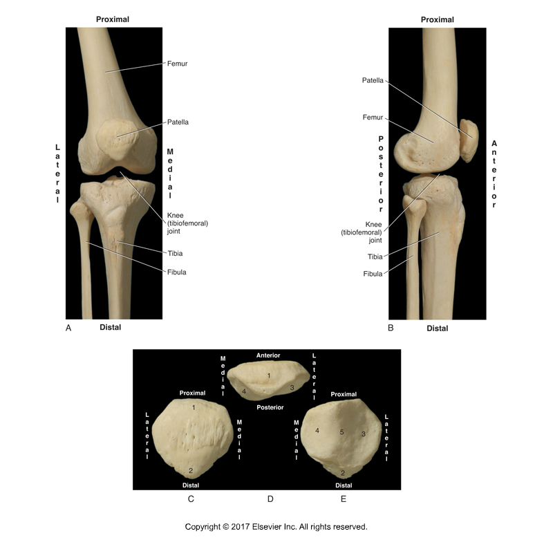 The patellofemoral joint is located between the patella and the femur. Permission: Joseph E. Muscolino. Kinesiology: The Skeletal System and Muscle Function, 3ed (2017), Elsevier.