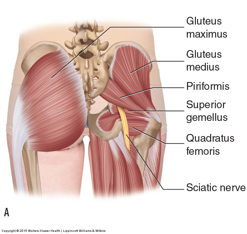 Usual course of the sciatic nerve relative to the piriformis muscle. Permission: Joseph E. Muscolino. Manual Therapy for the Low Back and Pelvis (2015).