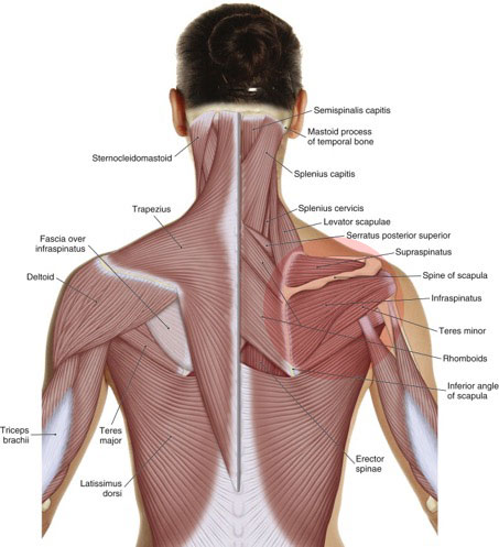 Rotator cuff pathology involves the rotator cuff muscles at the glenohumeral joint. Permission: Joseph E. Muscolino, The Muscle and Bone Palpation Manual (2016), Elsevier.