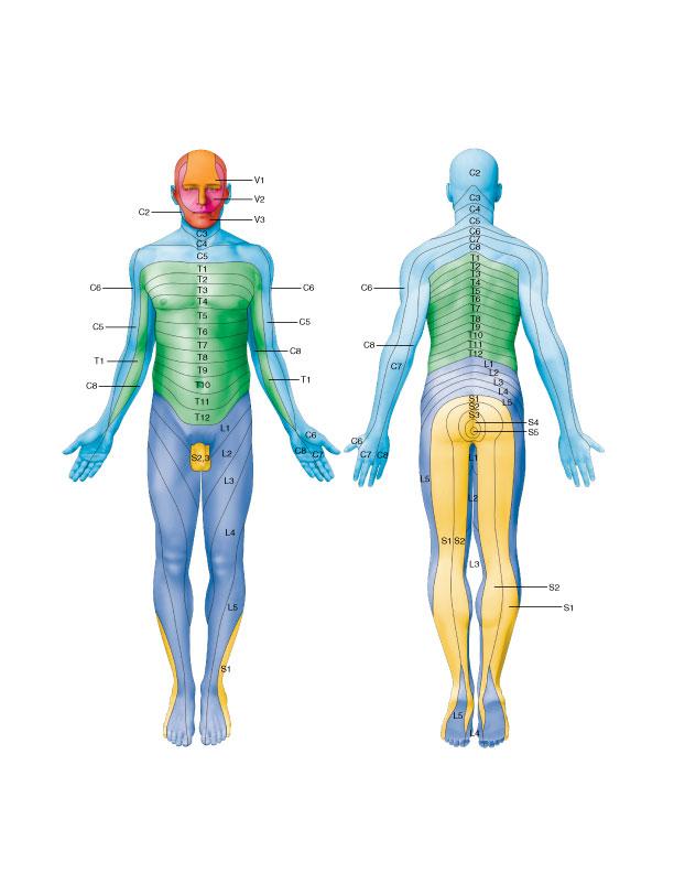 Dermatomal map of the body. Permission: Joseph E. Muscolino.