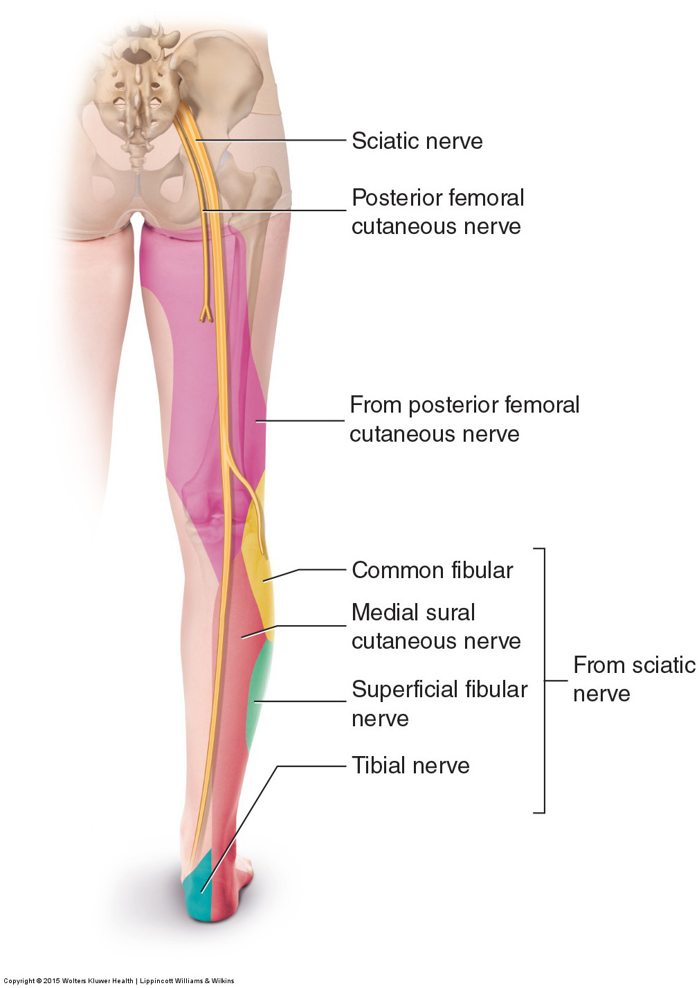 Sensory innervation of the sciatic nerve into the lower extremity. Permission: Joseph E. Muscolino. Permission: Joseph E. Muscolino. Manual Therapy for the Low Back and Pelvis (2015).