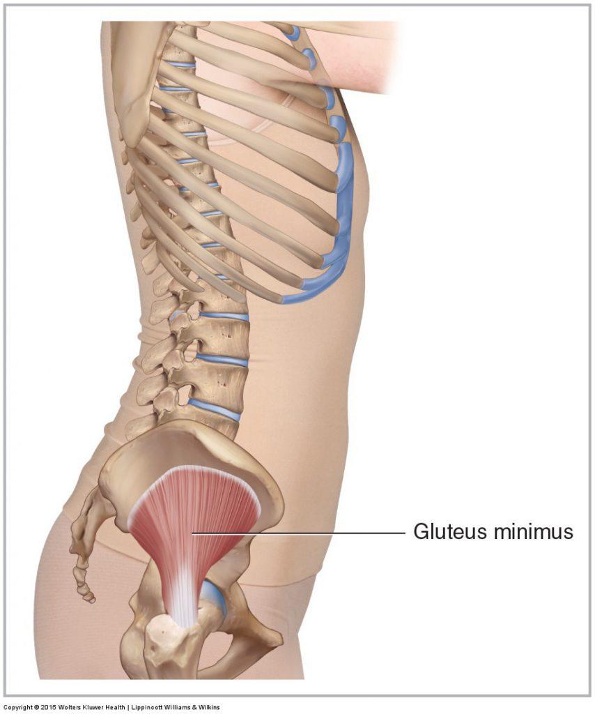 Gluteus Minimus Learn Muscles