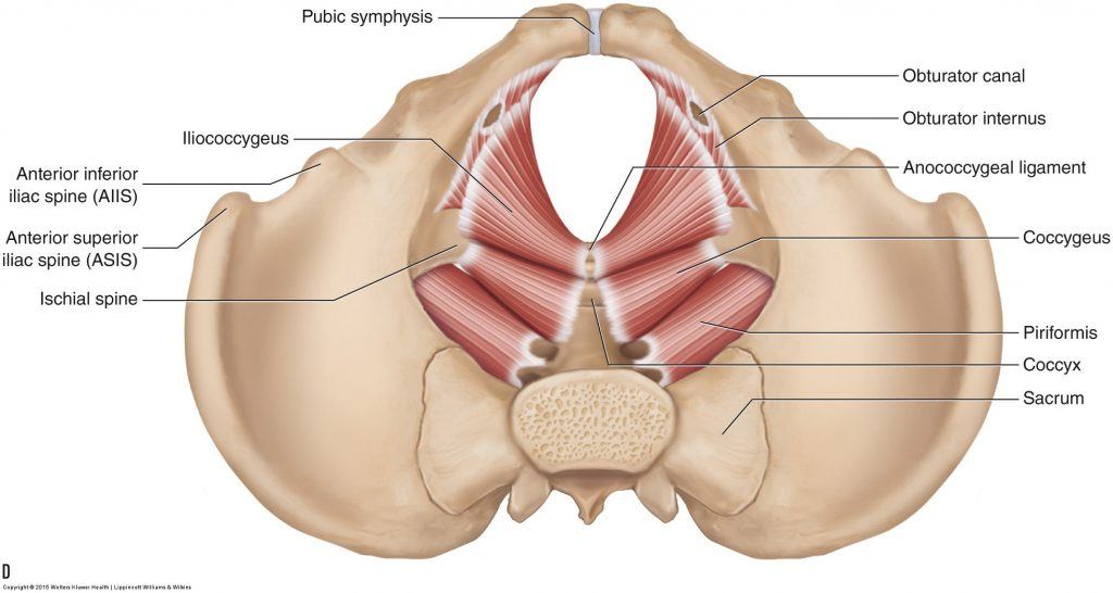 Pelvic floor muscles - Female - Learn Muscles