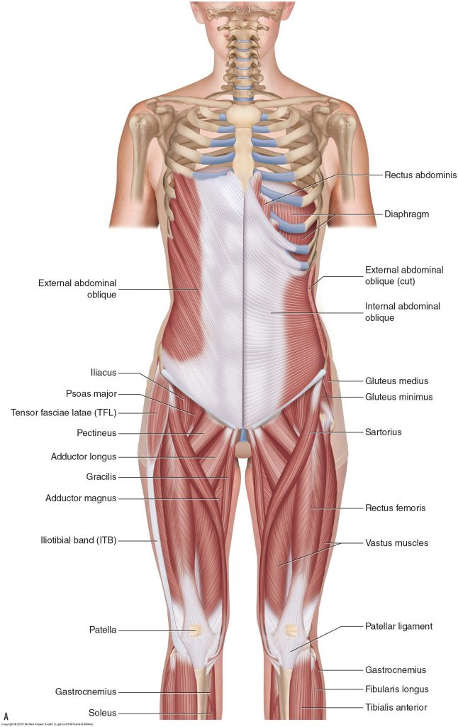 Muscles Of The Low Back