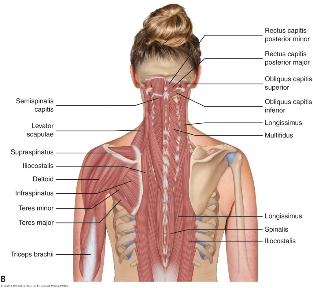Muscles Of The Neck And Trunk Learn Muscles
