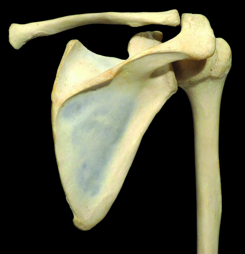 Shoulder joint - Learn Muscles