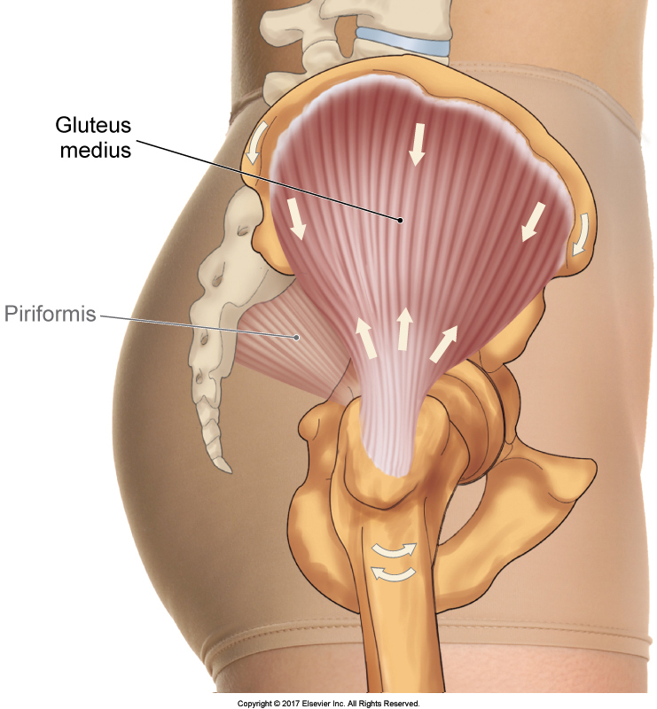 What Is The True Function Of The Gluteus Medius