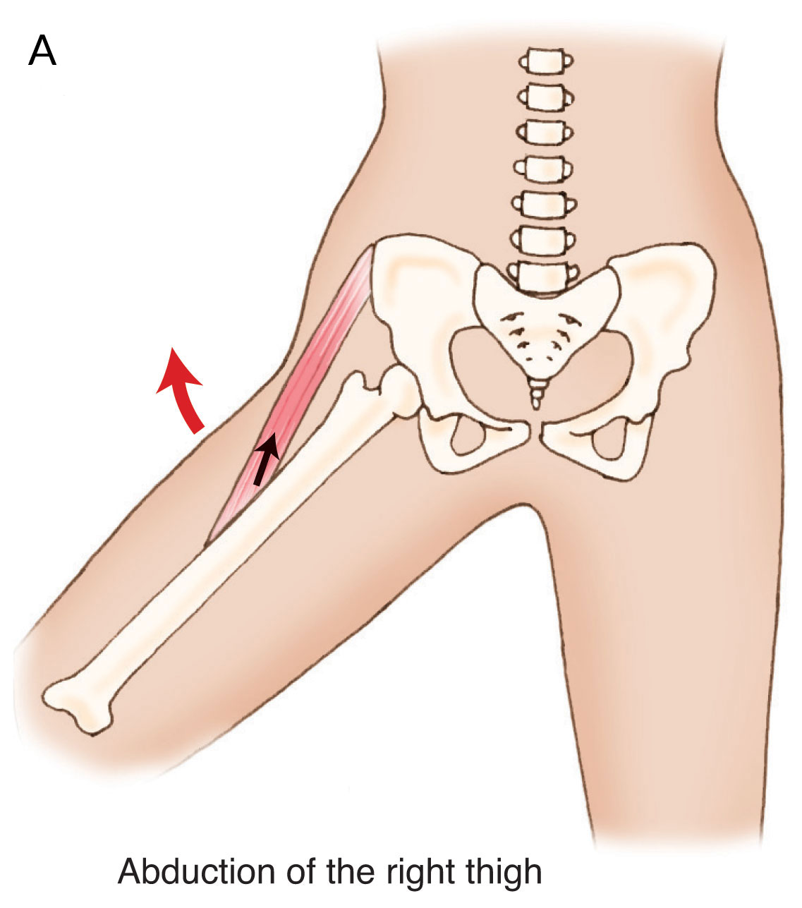 Abduction of the thigh at the hip joint