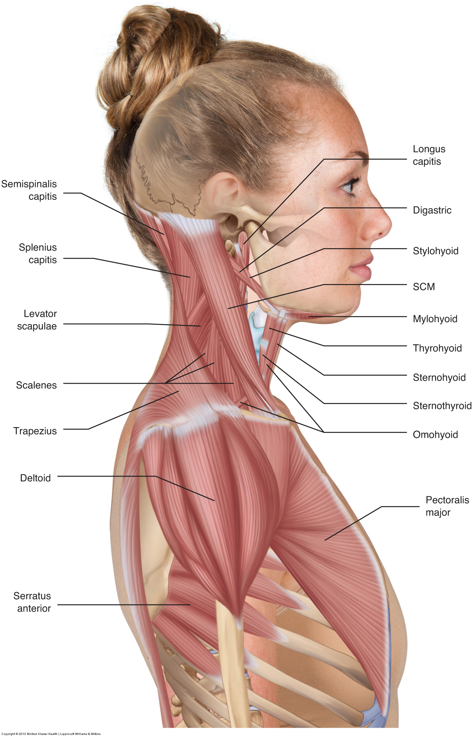 Muscles Of The Neck Musculature Of The Cervical Spine