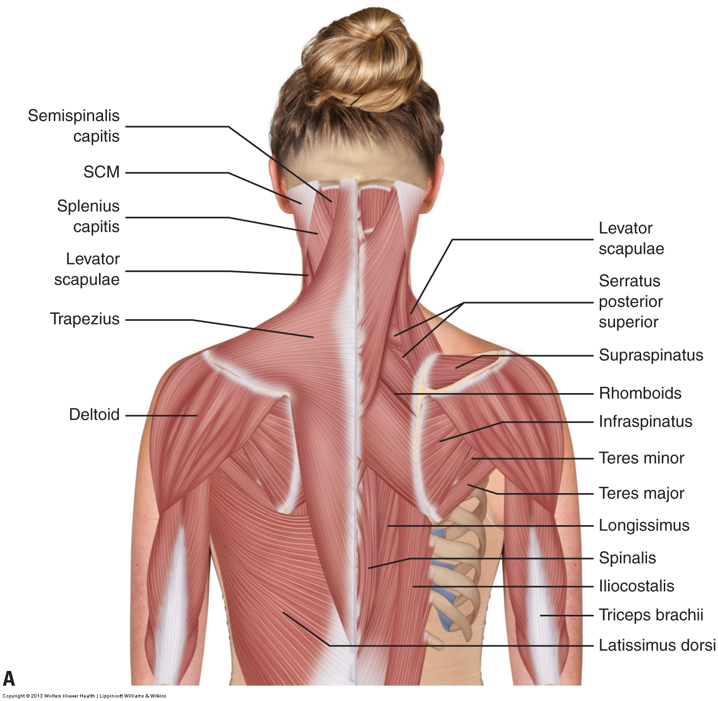 Muscles of the neck / musculature of the cervical spine