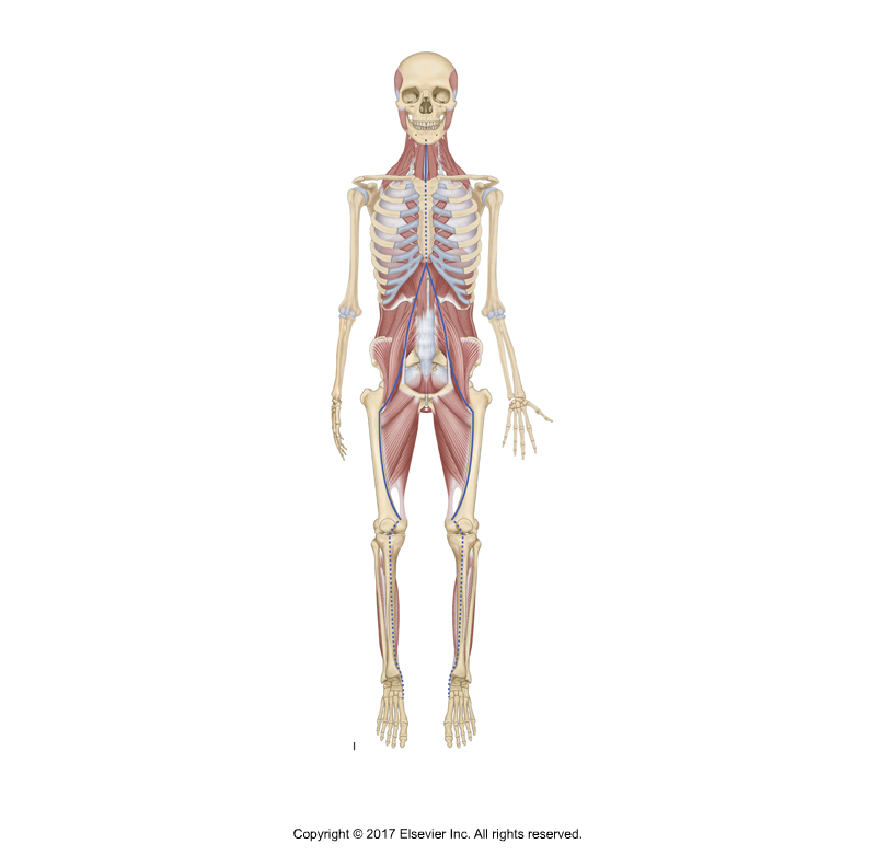 Psoas major is part of the deep front line myofascial meridian