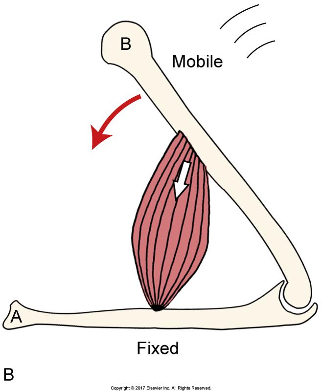 Psoas Major Function Introduction Muscle Biomechanics
