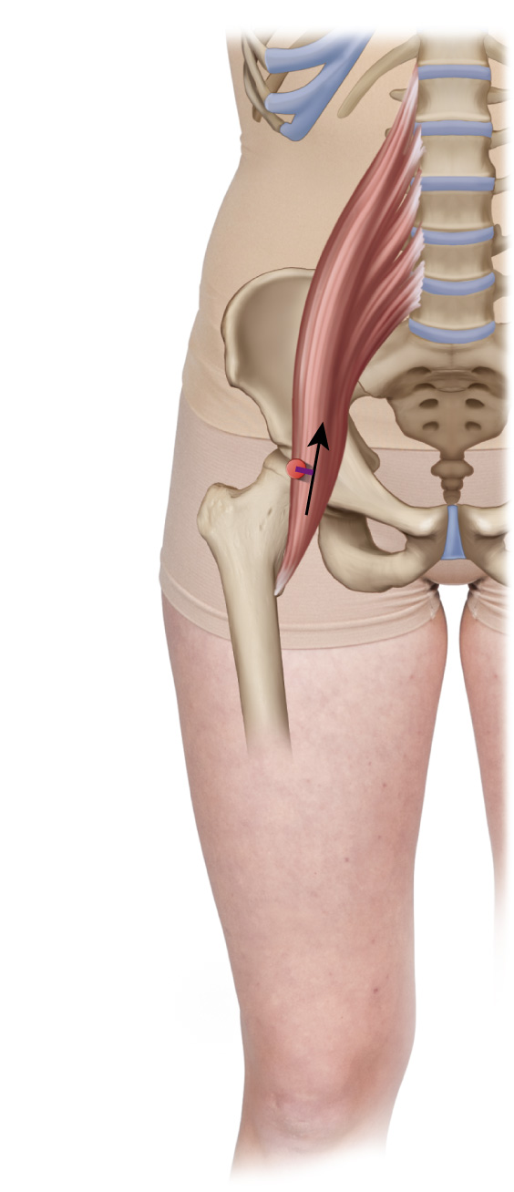 Psoas Major Function: Hip Joint Actions – Frontal Plane