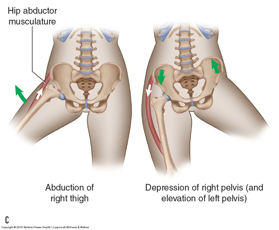Motions Of The Joints Of The Pelvis Sacroiliac Joints