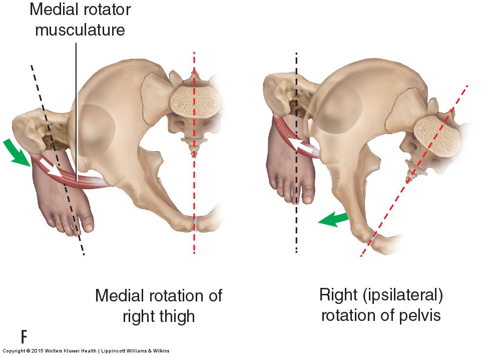 Motions of the Joints of the Pelvis (sacroiliac joints)