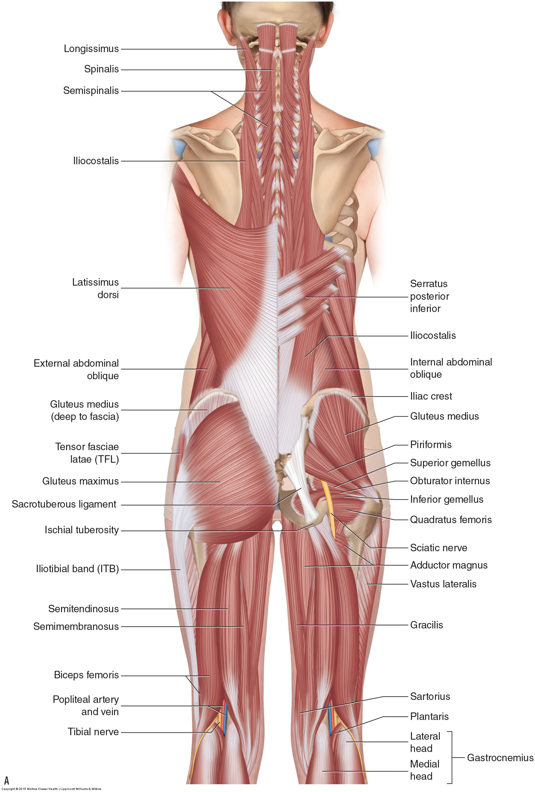 Pelvic girdle muscles anatomy