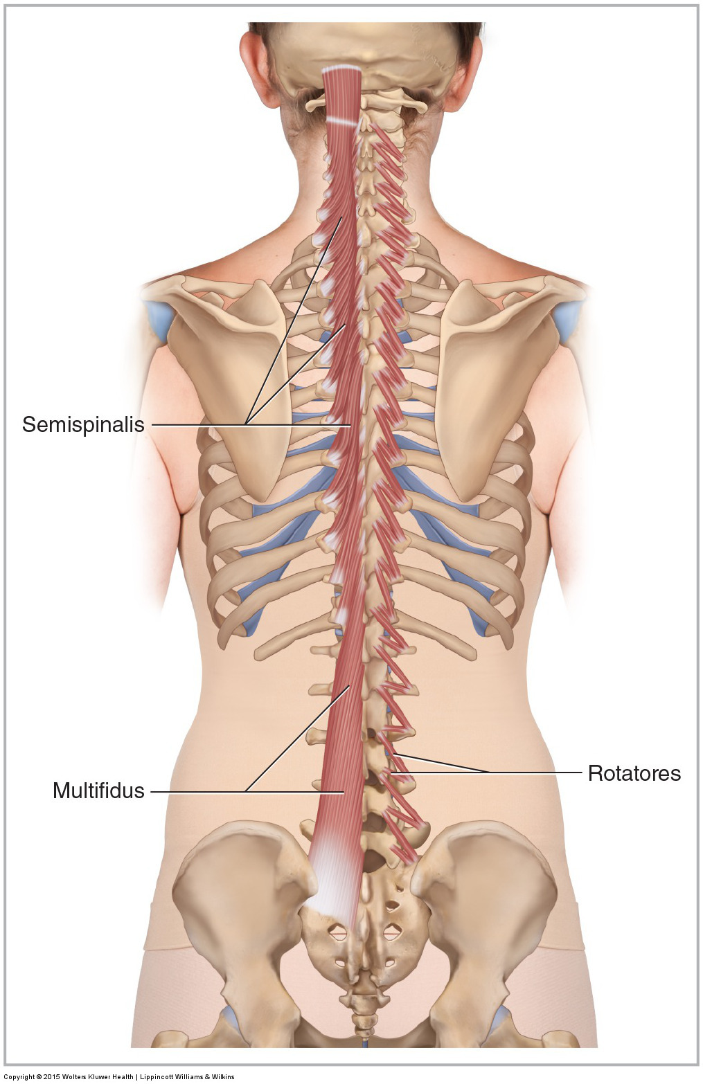 Muscles Of The Lumbar Spine Of The Trunk