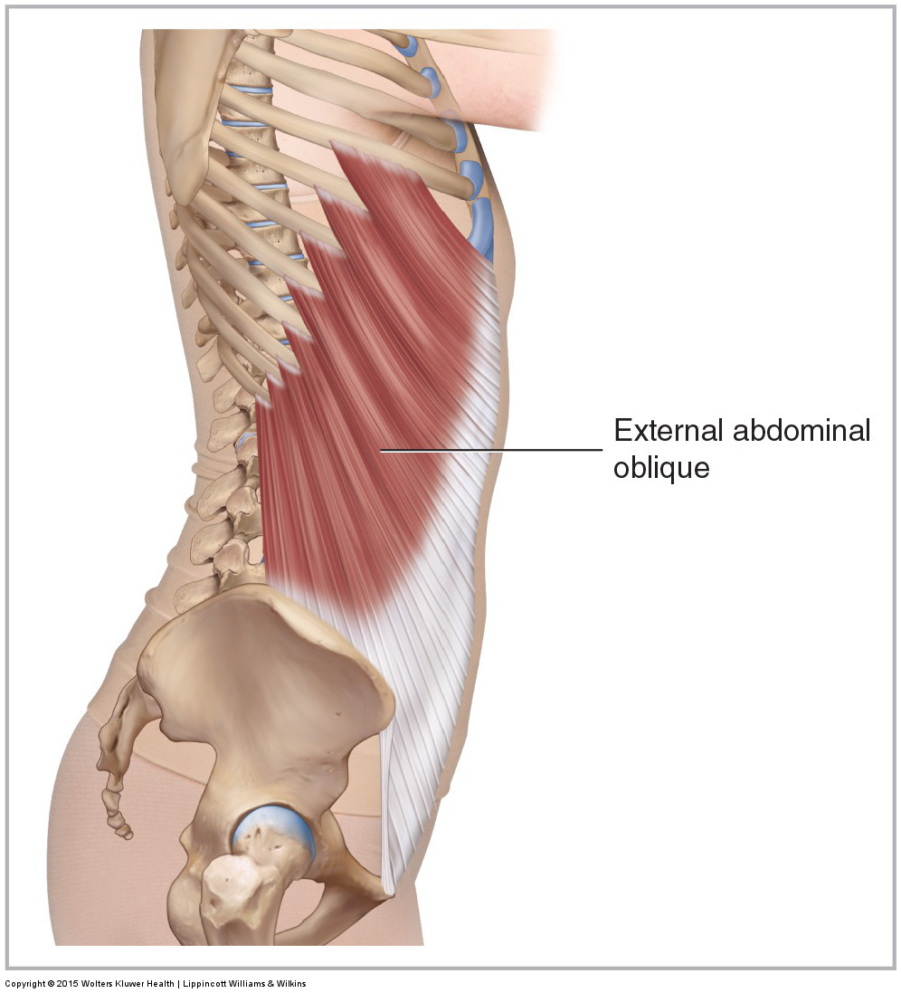 Lateral view of the right external abdominal oblique