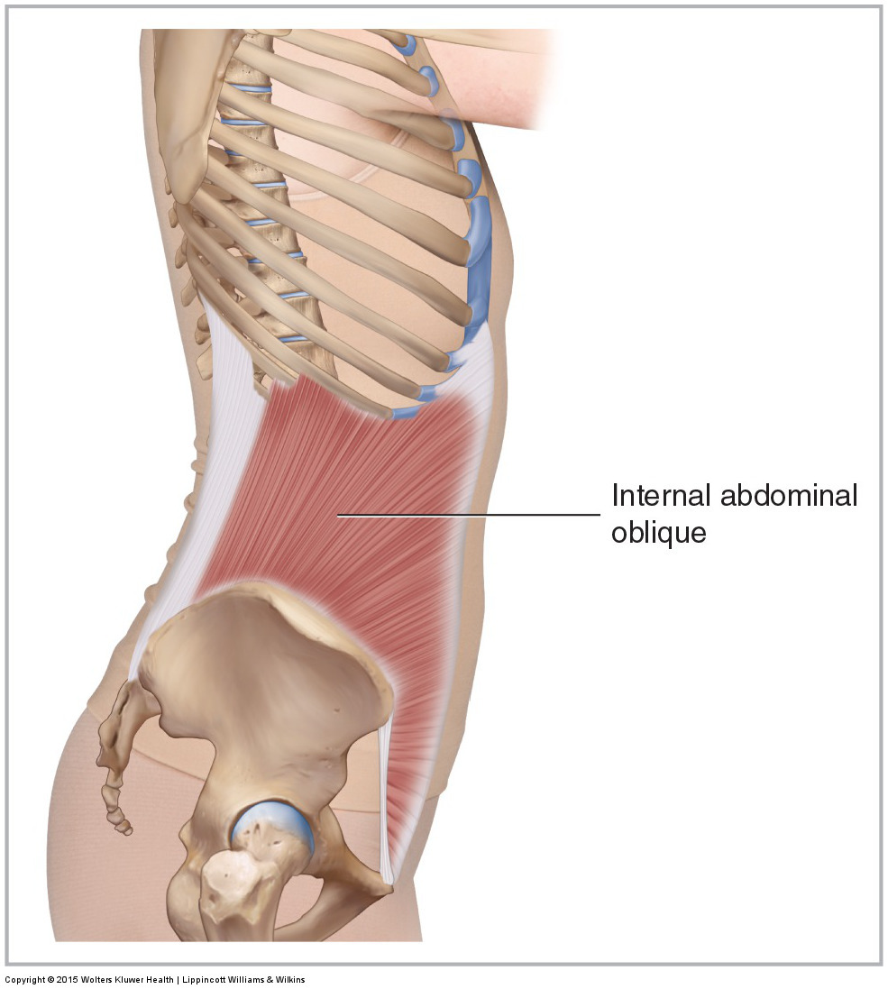Lateral view of the right internal abdominal oblique
