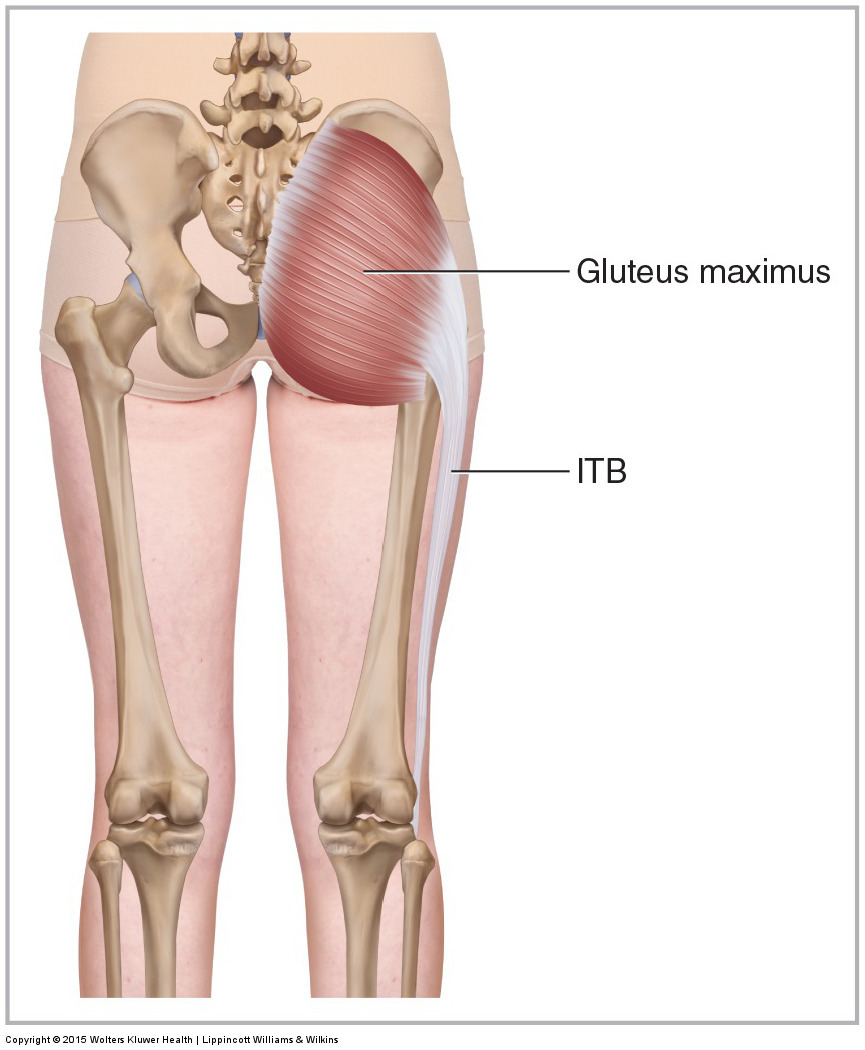 Posterior view of the right gluteus maximus