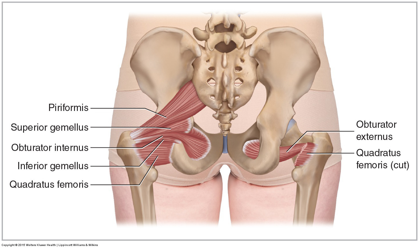 Posterior views of the deep lateral rotator group (including the piriformis)