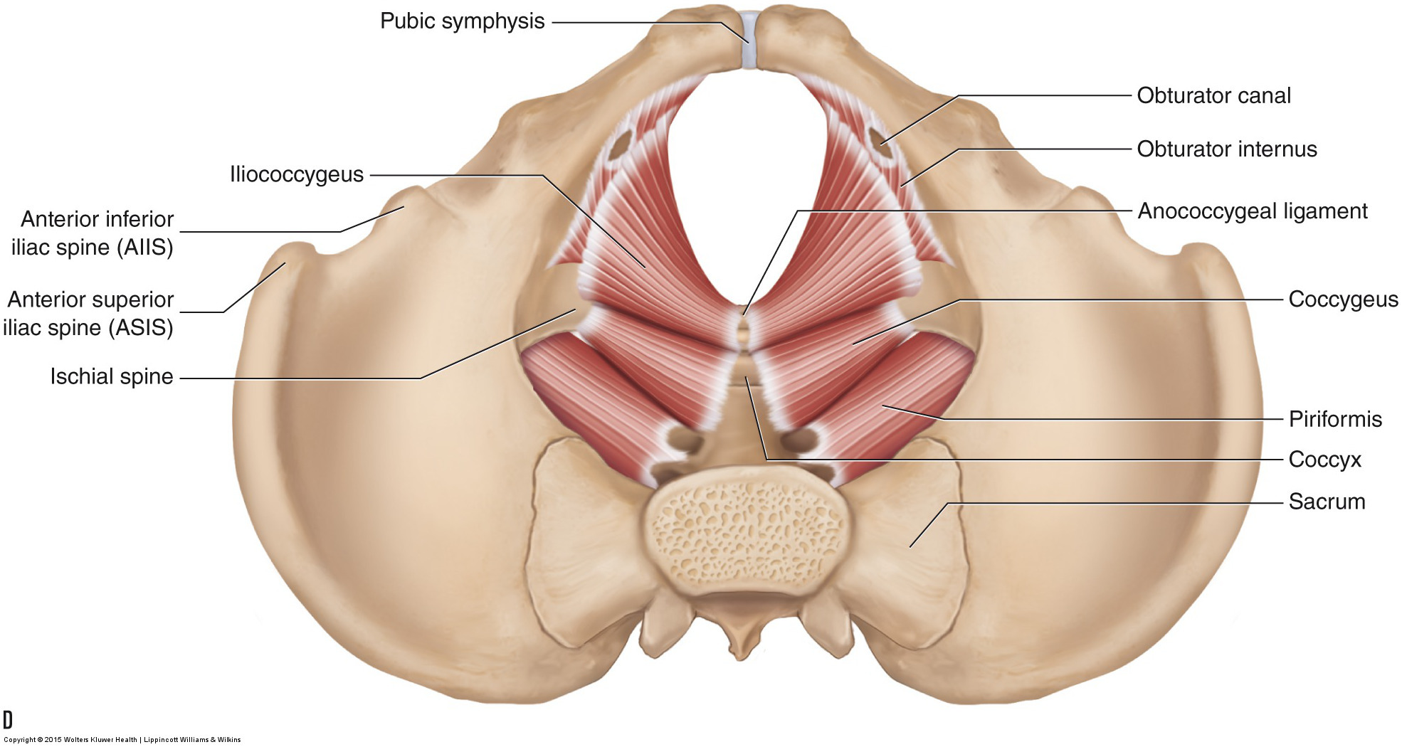 Female Pelvic Muscle Anatomy Diagram - DIY Enthusiasts Wiring Diagrams •