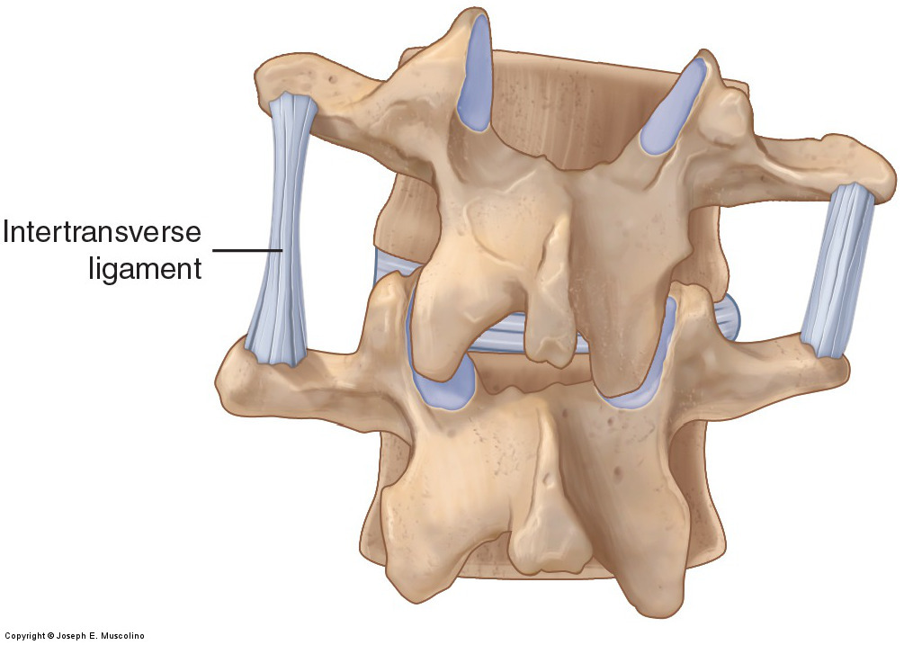 Posterior view of ligaments of the spine