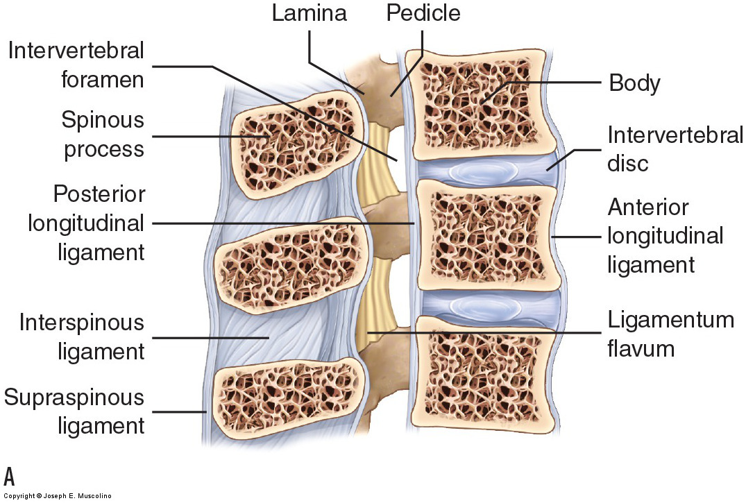Views of the ligaments of the lumbar spine