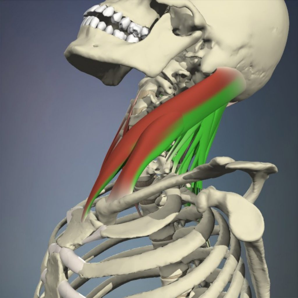 The sternocleidomastoid and cervical spine extension